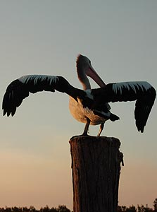 Pelican preparing to take flight